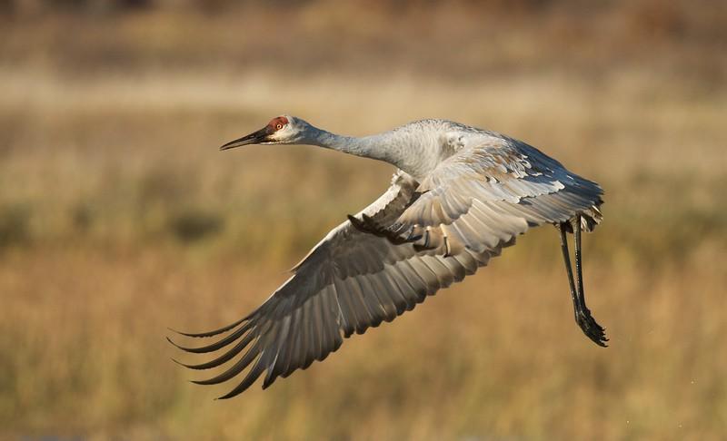 Sandhill Crane takes off Crex Meadows [October near Grantsburg, Wisconsin]