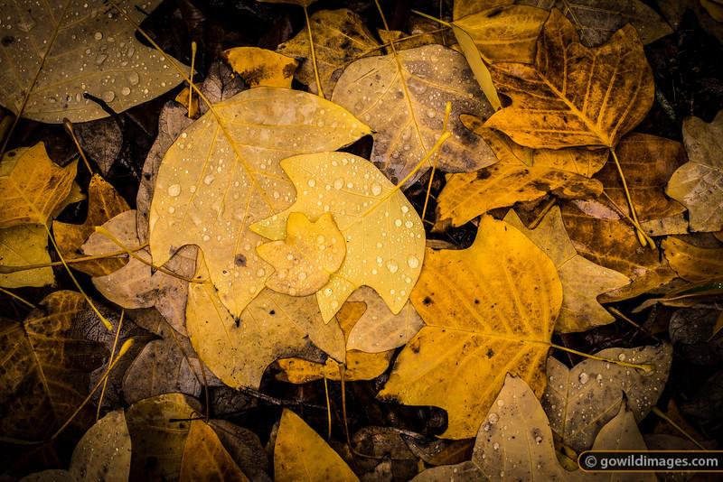 'Yellow Poplar' leaves