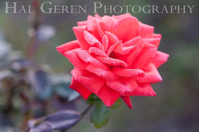 Heritage Rose Garden 2009