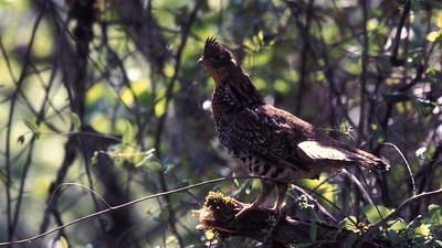 Trinity County Bird Image Library