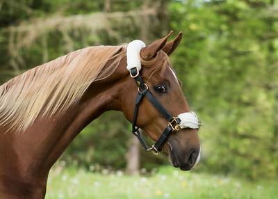 TriColor Equine