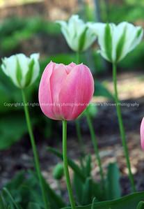 023-flower_tulip-windsor_hgts-16may08-3541