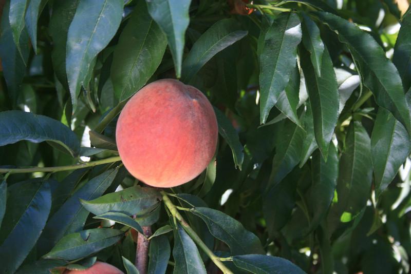 Kaweah Peach
