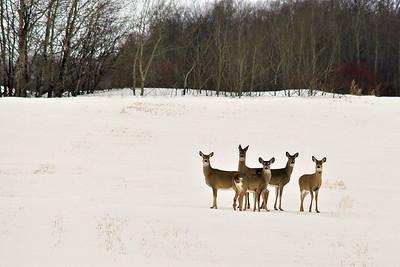 Cervidae - deer, moose