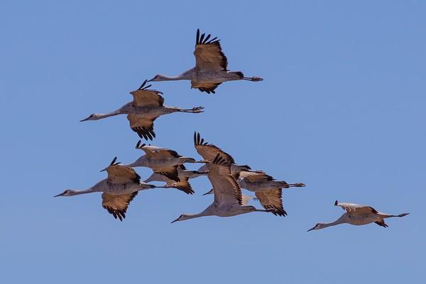Cranes, Egrets, and Friends