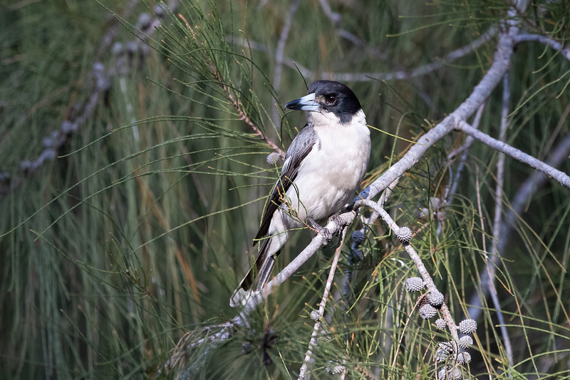Grey-Butcherbird_GL_4888.jpg