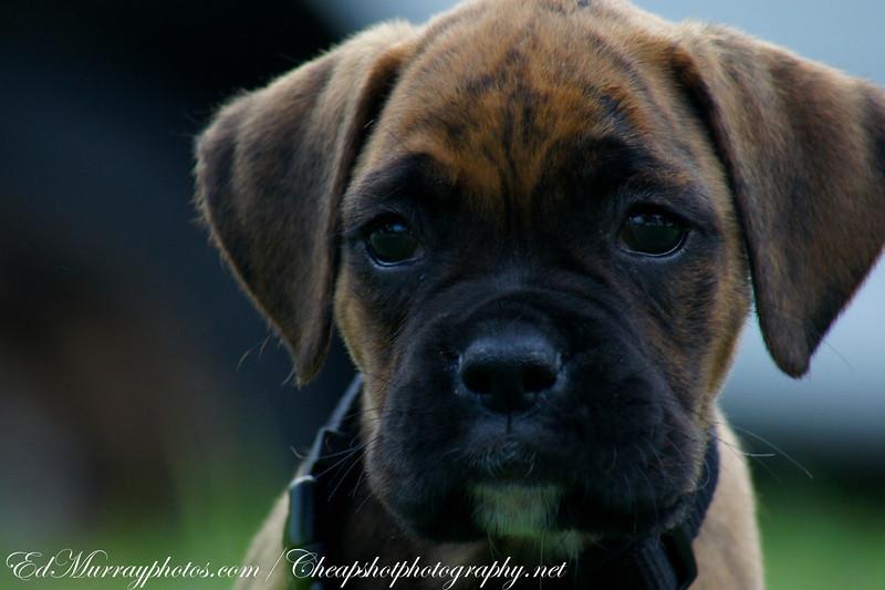 "Dolce: Meet my next door neigbor's 12 week old Boxer puppy ""Dolce"""