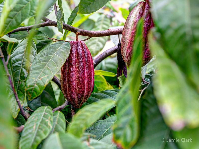 RIpe Chocolate Pod. Kona, Hawaii