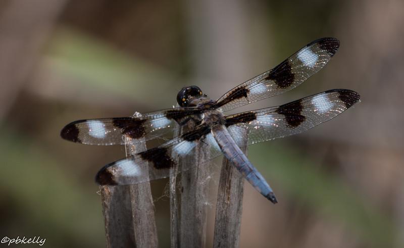 6/11/15.  Twelve-spotted Skimmer, Libellula  pulchella.