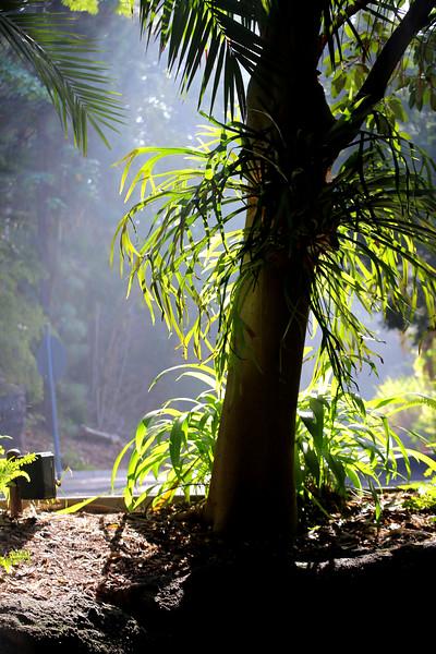 Staghorn fern on tree.jpg