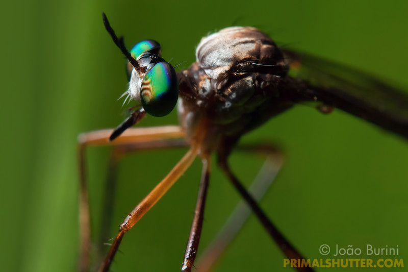 Robberfly with colorful teal eyes