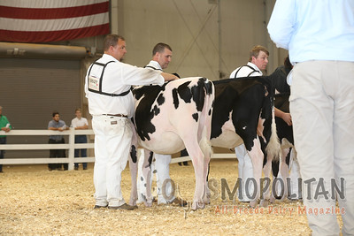 All-American Holstein Heifers16