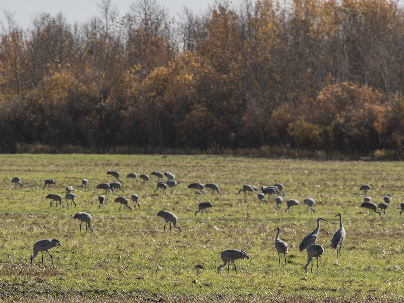 Sandhill Crane flock foraging near Thief Lake Wildlife Management Area Marshall County MNDSC03759.jpg
