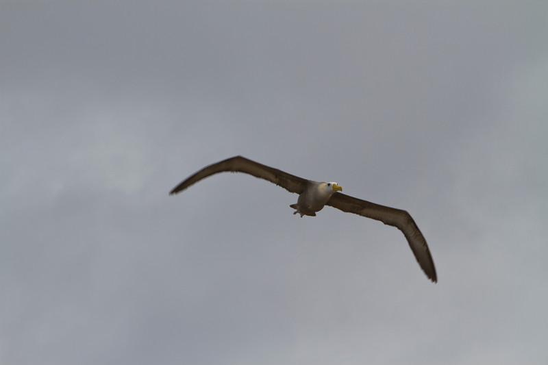 Albatross in Flight.jpg