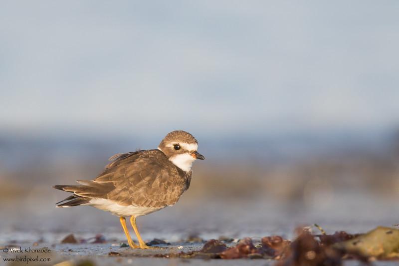 Semipalmated Plover - Half Moon Bay, CA, USA