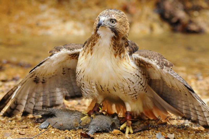 hawk with squirrel on creek bank.JPG