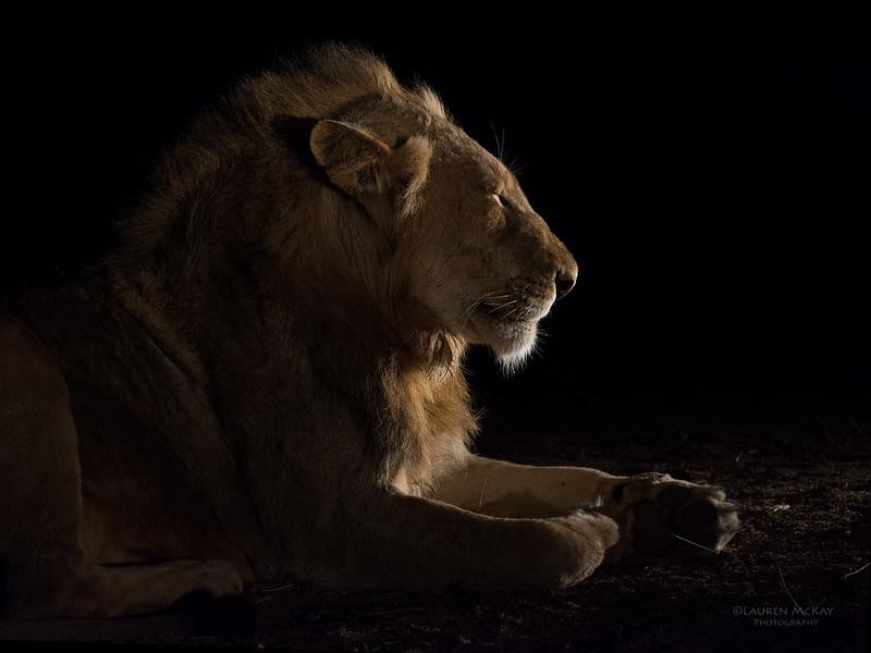 African Lion, Sabi Sands (EP), SA, Oct 2016-29.jpg