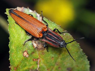 Elateridae - Click Beetles