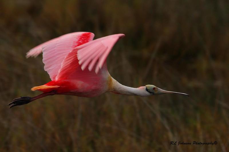 Roseate Spoonbill, Merritt Island NWR,  FL - December 2014