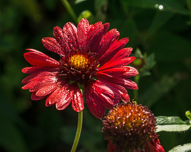 Over-Dewing It - Dew on Flowers
