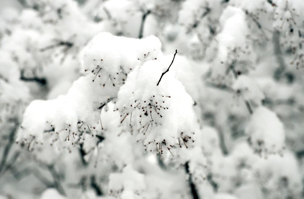 . Maribeth Joeright/MJoeright@News-Herald.com Snow flocking an apple tree at Lake Metroparks Penitentiary Glen.