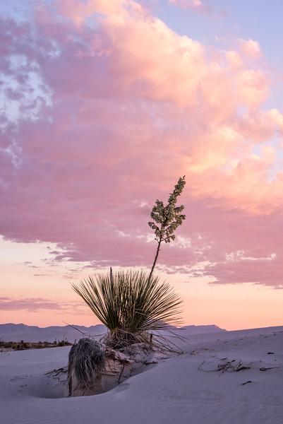 Yucca Against Sunrise Sky