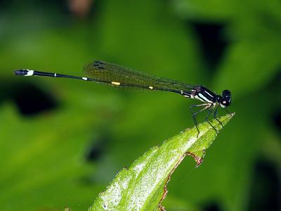 Protoneuridae