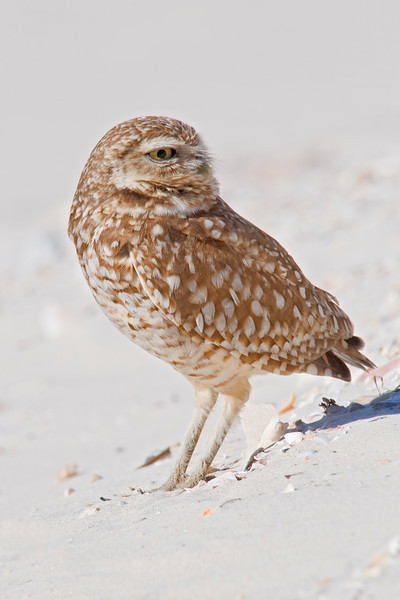 Owl - Burrowing - St. George Island, FL - 04