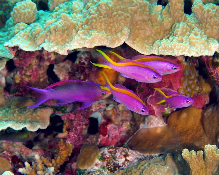 Purple Anthias Females