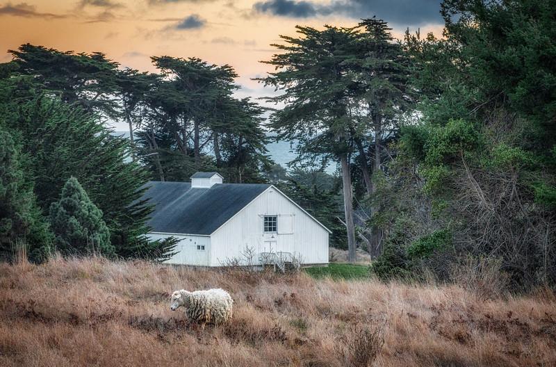 Lonley Sheep & White Barn, Sea Ranch, California