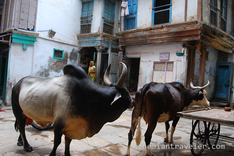 cows in old Ahmedabad.jpg