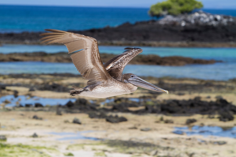 Pelican in Flight.jpg
