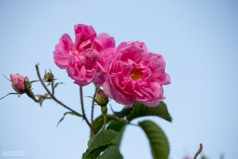 Roses Water (57)-Aljabal Alakhdhar-Oman.jpg