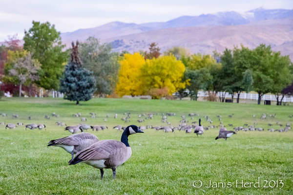 Canadian geese, Fall Color, San Rafael Park, Reno, Nevada