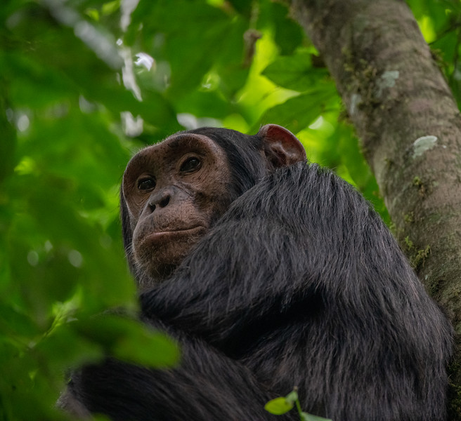 Uganda_T_Chimps-1679.jpg