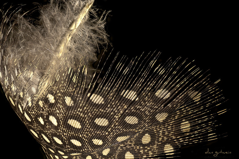Guinea-Hen-Feather-sweep.jpg