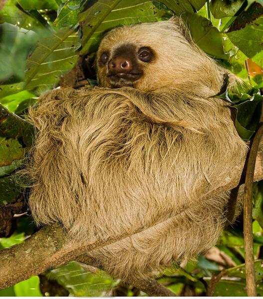 Sloth...Costa Rica
