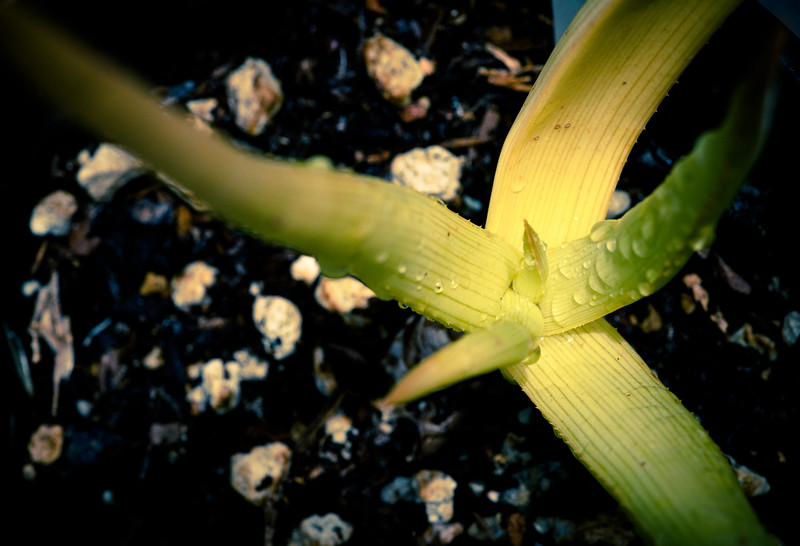 Aloe ibitiensis