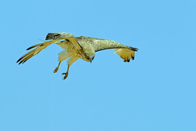 Short-toad Eagle