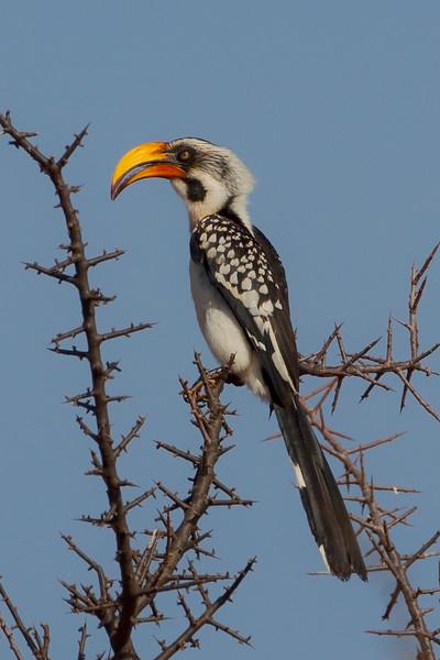Eastern Yellow-billed Hornbill (Tuckus flavirostris)