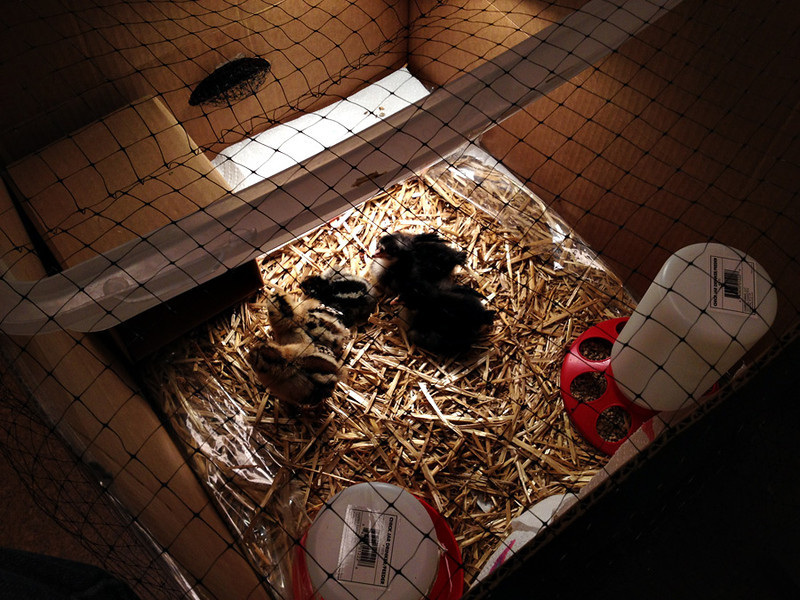 The baby chicks were just darling.  Of course in the early weeks, they needed close supervision and had to be housed in doors.  I rigged up a small feeder and waterer, providing them with a cozy box and plenty of attention.