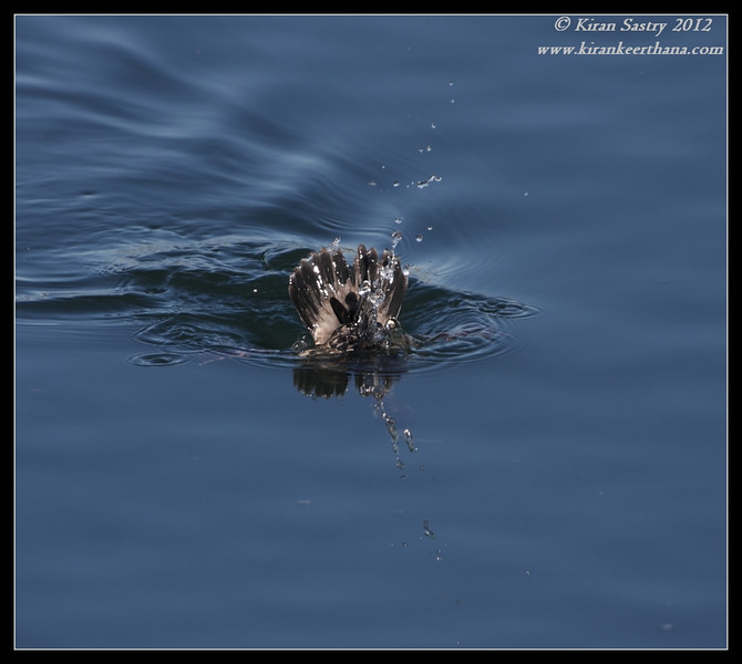 Female Bufflehead diving for food, Robb Field, San Diego River, San Diego County, California, February 2012