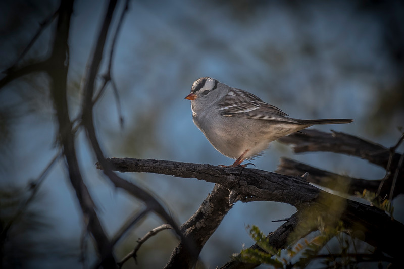 EH - White-crowned Sparrow