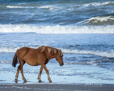 Coastal Carolina Mustangs