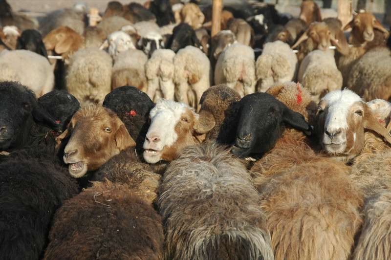 Kashgar Animal Market: Sheep for Sale - China