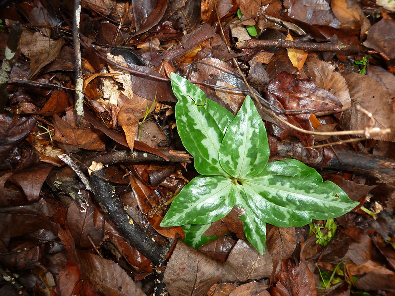 Six leaf trillium. Much of the area Tim and I explored was rich with trilliums.