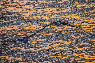 big sur-pelican-3837