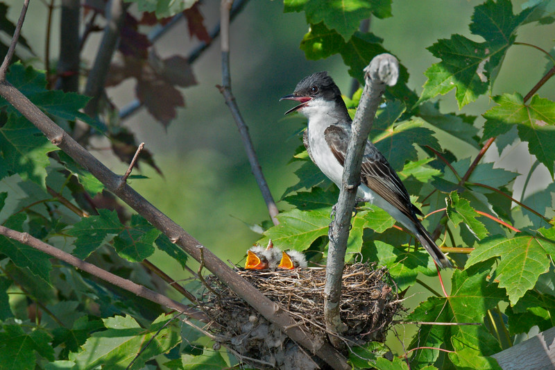 Eastern Kingbird with hungry chicks in nest • Ausable Marsh WMA, NY • 2013