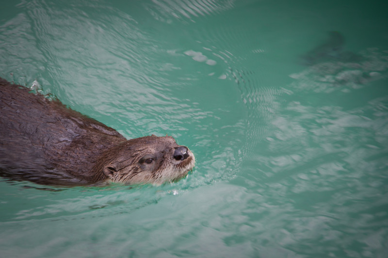 North American River Otter at Elmwood Zoo Park in Norristown, PA.