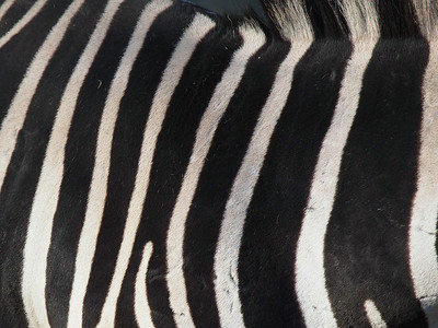 Zebras in Copenhagen Zoo